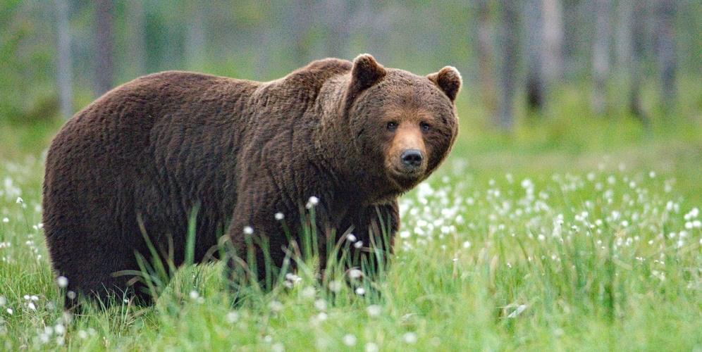 björn i sverige