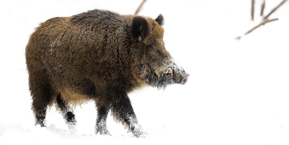 Jägarnas ögon viktiga i bekämpningen av afrikansk svinpest i
