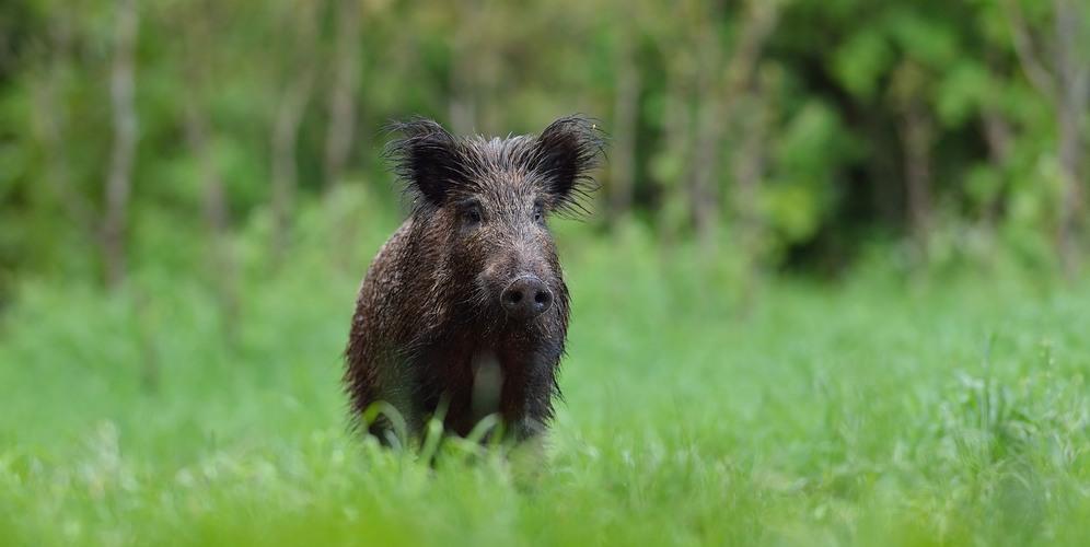 Afrikansk svinpest Svenska Jägareförbundet