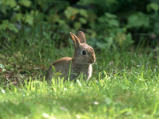 kaniner representativa arter