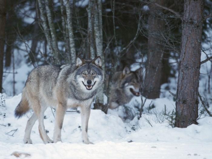 Bildresultat för varg